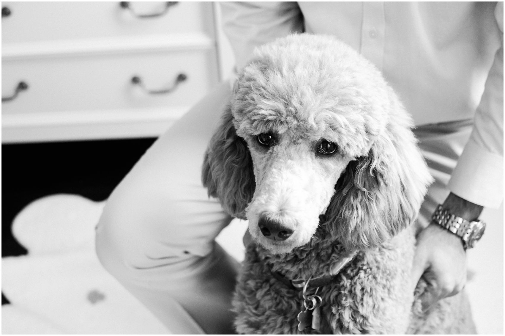 family dog poodle is looking happy and alert in family photos